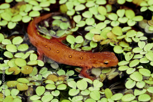 Fotografia, Obraz Red-spotted Newt in water