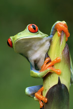 Curious Red-eyed Tree Frog (Ag...