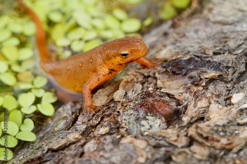 Fotografie, Obraz  Red-spotted Newt in water