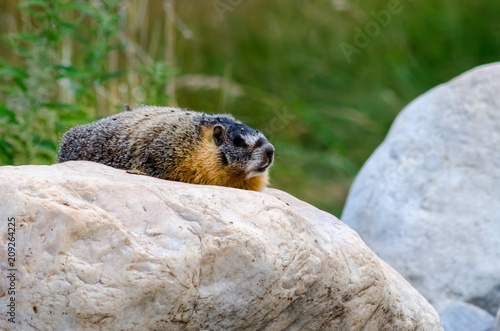 Fotografie, Obraz  Yellow-bellied marmot loaf