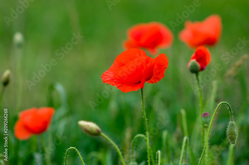 Foto op Plexiglas Panoramafoto s Field of bright red poppy flowers in summer