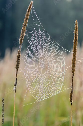 The web between tall grass stems