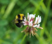 Small Garden Bumblebee, Bombus...