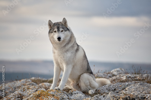Vászonkép Gray Siberian husky sits on the edge of the rock and looks down
