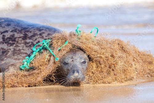 Fototapeta premium Plastikowe zanieczyszczenie mórz. Foka uwięziona w splątanej nylonowej sieci rybackiej. Ciekawe zwierzę zaczepia się o sieć, ale zostaje zaplątane.