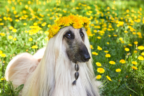 Dog breed dog Afghan Hound  lying on the lawn in a wreath from dandelions Wallpaper Mural