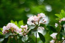 Mountain Laurel, Pennsylvania State Plant / Flower