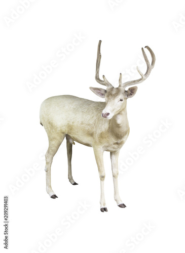 Poster Antilope Fallow deer isolated