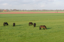 Clydesdale Horses Grazing In A Field, Netherlands.