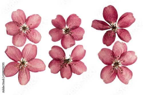 Fototapeta Pressed and dried white delicate transparent flower apple tree, isolated on white. obraz