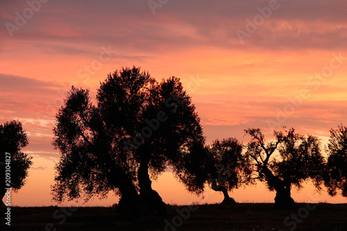 Olive trees in sunset light, Apulia, Italy