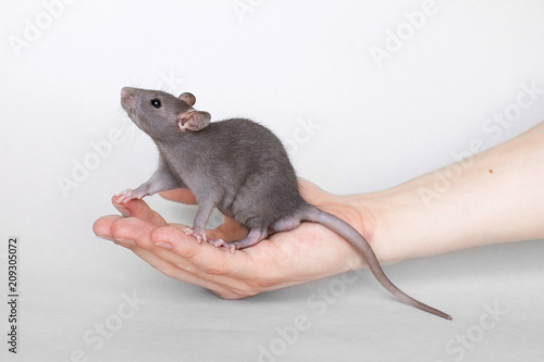 Black rat sitting on a man's hand on a gray background Fotobehang