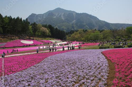 Tuinposter Purper 羊山公園の芝桜(埼玉県)