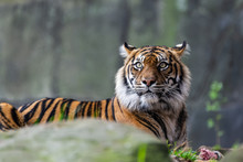Male Sumatran Tiger In Front O...