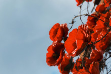 Decorative Red Poppies Among Barbed Wire As A Symbol Of War Victims.