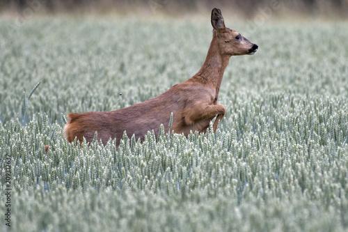 Fotobehang Ree European roe deer in a wheat field