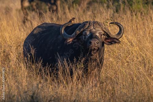 Keuken foto achterwand Buffel Cape Buffalo morning light