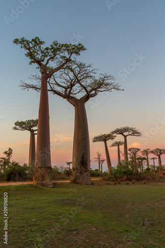 Keuken foto achterwand Baobab Beautiful Baobab trees at sunset at the avenue of the baobabs in Madagascar