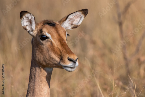 Impala antelope on high alert