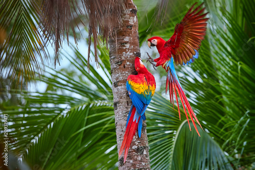 Photo Two Ara macao, Scarlet Macaw, pair of big, red colored, amazonian parrots near nesting hole on palm tree, outstretched wings, long red tail against wet forest