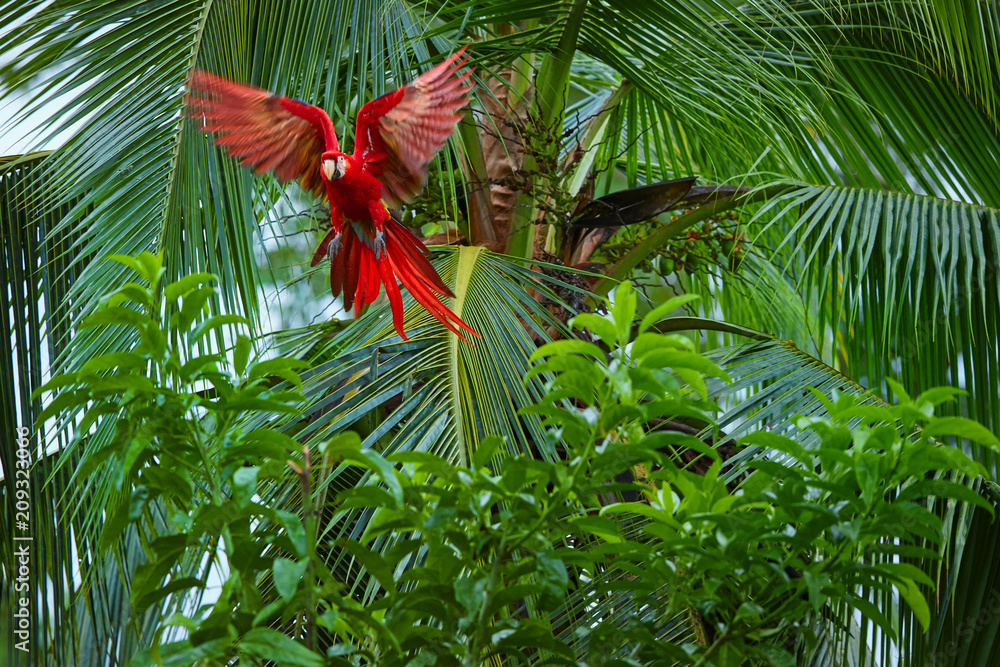 ra macao, Scarlet Macaw, big, red colored, amazonian parrot flying directly among palm tree forest, outstretched wings, long red tail against wet forest. Manu National Park, Peru, Amazon basin.