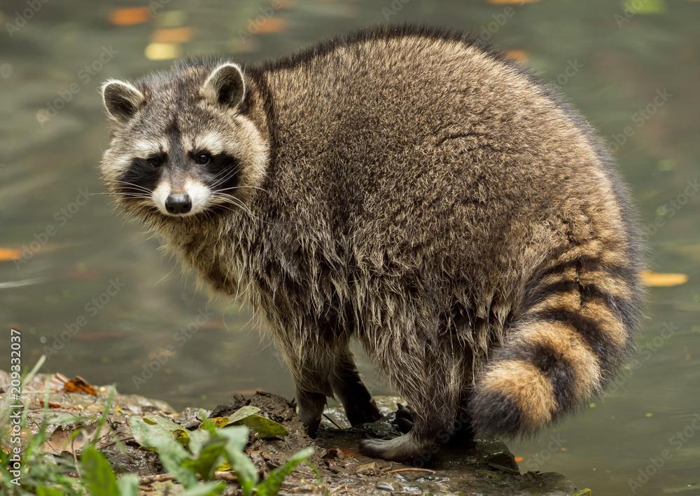 Fototapeta A raccoon plays outside on the water