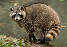A Raccoon Plays Outside On The...