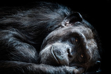 Portrait Of The Chimpanzee (Pa...