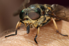 Horsefly On The Human Skin Rea...