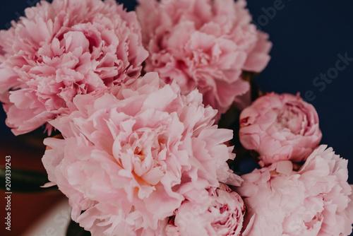 beautiful pink peonys on a dark blau background close up