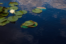 Blooming Water Lily In Small P...