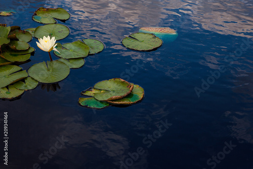 Blooming water lily in small pond with sky reflected