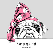 Portrait Of A Pug In The Pink ...