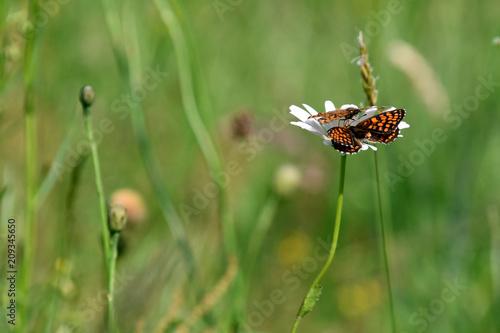 Fotografie, Obraz  Il corteggiamento tra due farfalle sopra il fiore di margherita