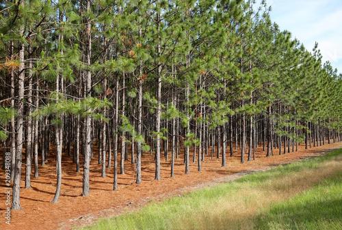 Obraz A grove of pine trees growing in a straight line near a main road in Georgia. - fototapety do salonu