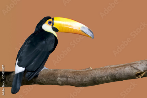 Tuinposter Toekan Bright toucan with a large yellow beak sitting on a branch in a cage in the zoo, isolated on orange background