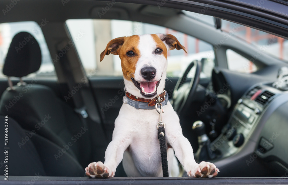 Cute dog sit in the car on the front seat