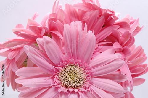 Foto op Plexiglas Dahlia pink gerbera flowers closeup on white background
