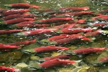 School Of Red Saukeye Salmon Swimming Upstream