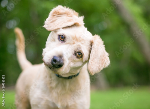 Photo A cute Labrador Retriever/Poodle mixed breed puppy listening with a head tilt