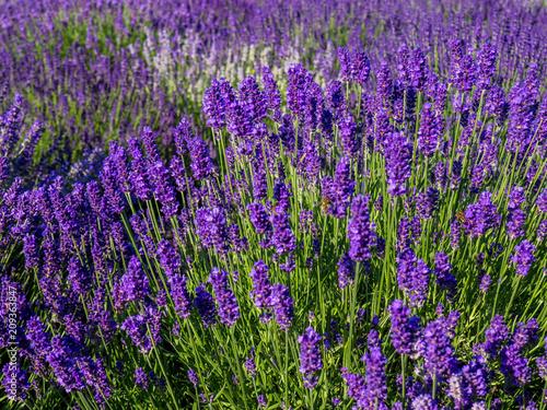 Poster Prune Lavendelfeld in Frankreich