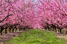 Peach Trees Orchard Blossoms P...