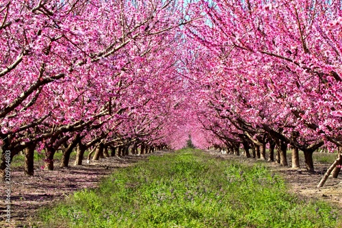 Valokuva peach trees orchard blossoms pink tree farm