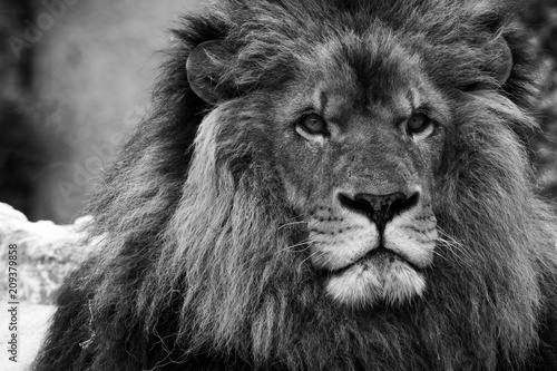 Fototapety, obrazy: Tête de lion