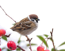 Tree Sparrow Sitting In A Snow...
