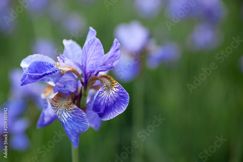 irises flowers at field