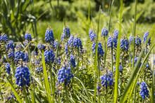 Tender Blue Muscari Flowers, Altai, Siberia, Russia