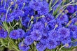 Leinwandbild Motiv Blue bachelor's button cornflower (centaurea cyanus)