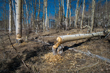 Aspen Felled By Beaver