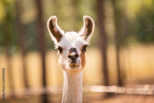 Staande foto Lama Llama at a Goat Farm
